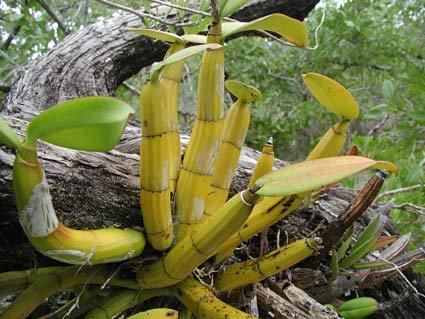 banana-orchid.jpg