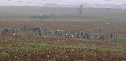 Chinese prisoners working a field