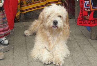 Street dog Peru
