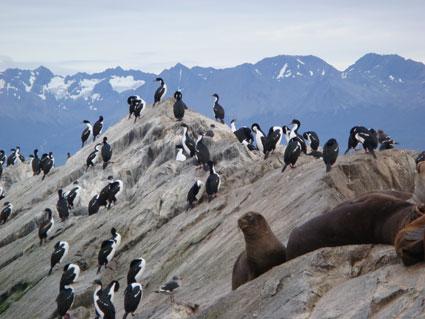 Cormorants Tierra del Fuego