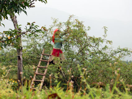 Naxi woman harvesting berries