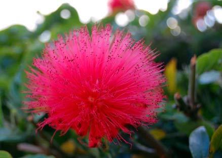 Fuzzy flower Puerto Jiminez Costa Rica