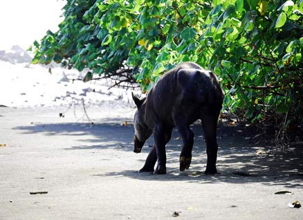 Tapir in Corcovado